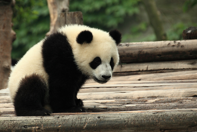 Photo credit: Panda in China, George Lu https://www.flickr.com/photos/gzlu/7708872342/